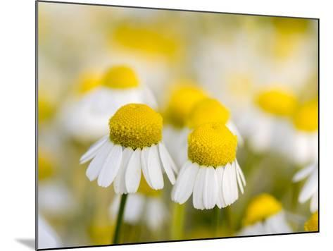 Close Up of Chamomile, Hortobagy National Park in Spring. Hungary-Martin Zwick-Mounted Photographic Print