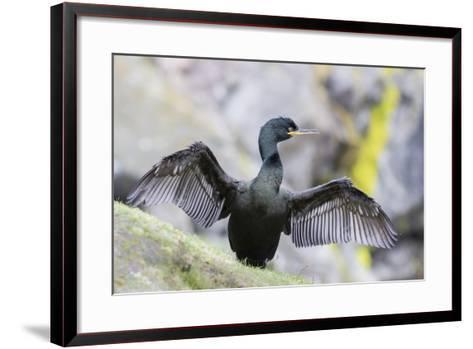 European Shag on the Shetland Islands in Scotland-Martin Zwick-Framed Art Print