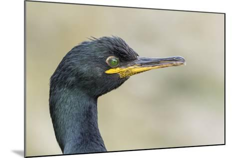 European Shag on the Shetland Islands in Scotland-Martin Zwick-Mounted Photographic Print