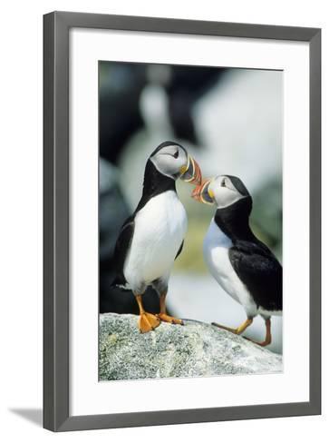 Atlantic Puffins, Machias Seal Island, Maine-Richard and Susan Day-Framed Art Print