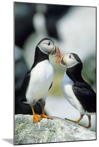 Atlantic Puffins, Machias Seal Island, Maine-Richard and Susan Day-Mounted Photographic Print