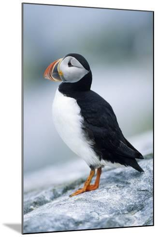 Atlantic Puffin, Machias Seal Island, Maine-Richard and Susan Day-Mounted Photographic Print