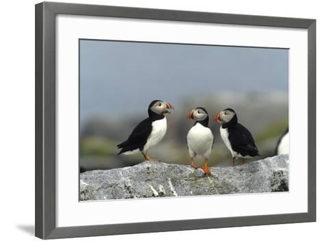 Atlantic Puffins, Machias Seal Island, Canada-Richard and Susan Day-Framed Art Print