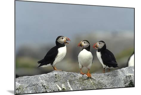 Atlantic Puffins, Machias Seal Island, Canada-Richard and Susan Day-Mounted Photographic Print