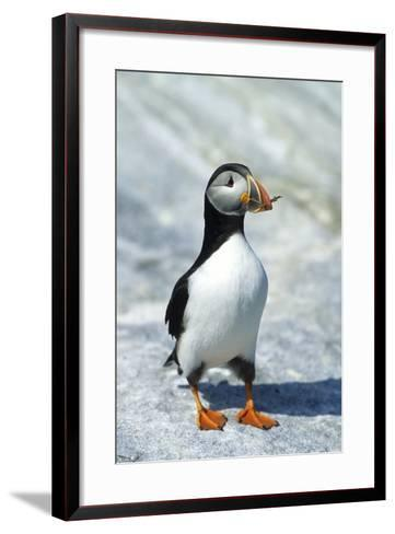 Atlantic Puffin with Nesting Material, Machias Seal Island, Canada-Richard and Susan Day-Framed Art Print
