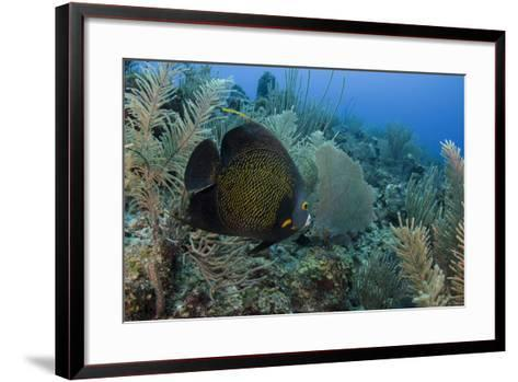 French Angelfish, Hol Chan Marine Reserve, Ambergris Caye, Belize-Pete Oxford-Framed Art Print