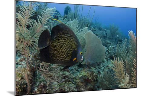 French Angelfish, Hol Chan Marine Reserve, Ambergris Caye, Belize-Pete Oxford-Mounted Photographic Print