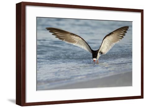 Black Skimmer Coming in for a Landing, Gulf of Mexico, Florida-Maresa Pryor-Framed Art Print