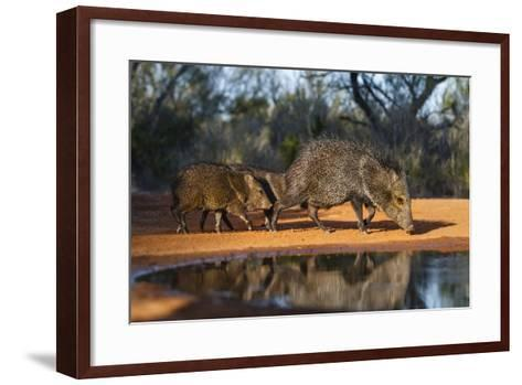 Collared Peccary Family at Pond-Larry Ditto-Framed Art Print