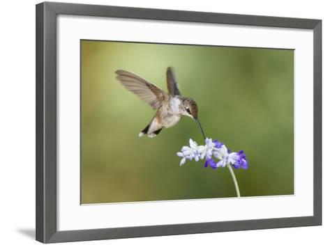Black-Chinned Hummingbird Feeding-Larry Ditto-Framed Art Print