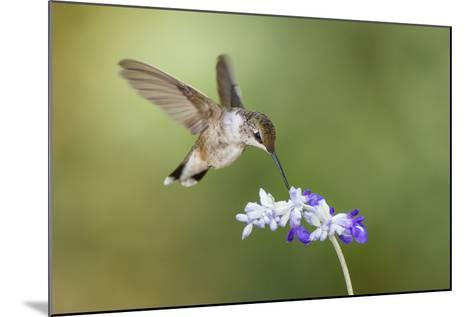 Black-Chinned Hummingbird Feeding-Larry Ditto-Mounted Photographic Print