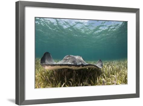 Caribbean Whiptail Ray, Shark Ray Alley, Hol Chan Marine Reserve, Belize-Pete Oxford-Framed Art Print