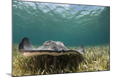 Caribbean Whiptail Ray, Shark Ray Alley, Hol Chan Marine Reserve, Belize-Pete Oxford-Mounted Photographic Print