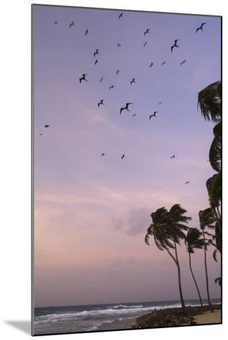 Coconut Palm and Magnificent Frigatebird, Half Moon Caye, Lighthouse Reef, Atoll, Belize-Pete Oxford-Mounted Photographic Print