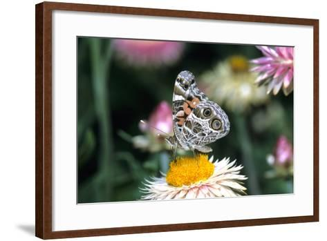 American Lady Butterfly on Outback Paper Daisy, Marion County, Illinois-Richard and Susan Day-Framed Art Print