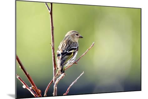 A Pine Sisken-Richard Wright-Mounted Photographic Print