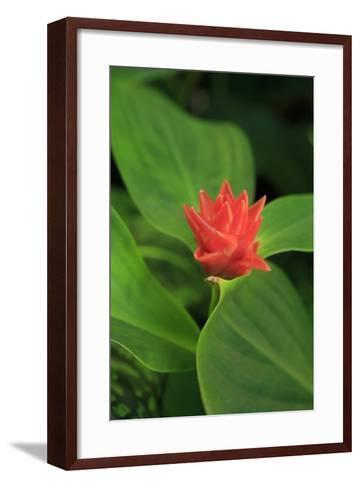 A Bright Red Ginger Flower on Display, Cairns, Queensland, Australia-Paul Dymond-Framed Art Print