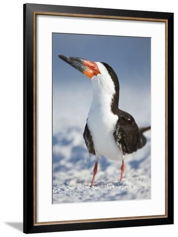 Black Skimmer, Gulf of Mexico, Florida-Maresa Pryor-Framed Art Print