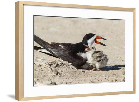 Black Skimmers at Nesting Colony-Larry Ditto-Framed Art Print