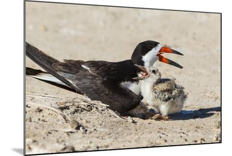 Black Skimmers at Nesting Colony-Larry Ditto-Mounted Photographic Print