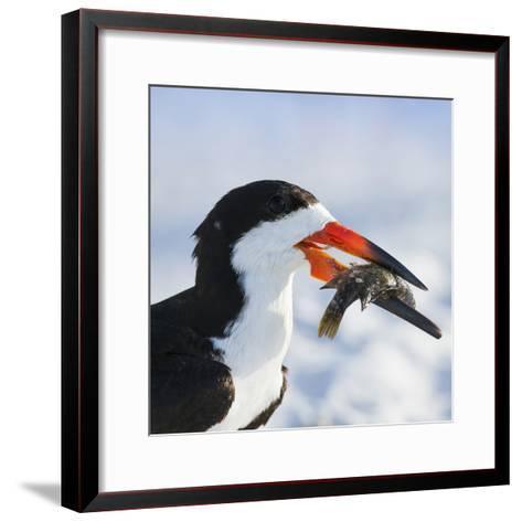 Black Skimmer with Food, Gulf of Mexico, Florida-Maresa Pryor-Framed Art Print
