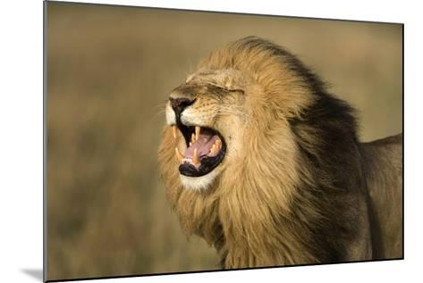 Africa, Kenya, Masai Mara Game Reserve. Male Lion Roaring-Jaynes Gallery-Mounted Photographic Print