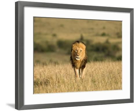 Africa, Kenya, Masai Mara Game Reserve. Male Lion Walking in Dry Grass-Jaynes Gallery-Framed Art Print
