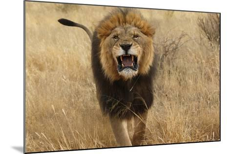 Africa, Namibia. Aggressive Male Lion-Jaynes Gallery-Mounted Photographic Print