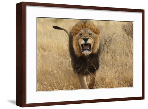 Africa, Namibia. Aggressive Male Lion-Jaynes Gallery-Framed Art Print