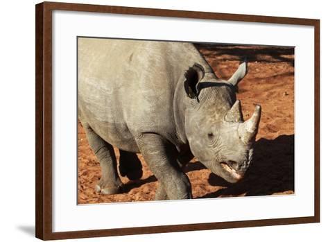 Africa, Zimbabwe, Victoria Falls. Black Rhinoceros-Kymri Wilt-Framed Art Print