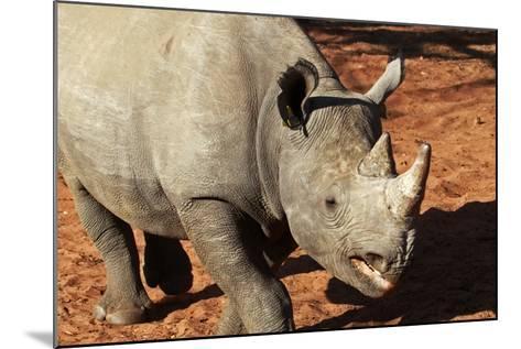 Africa, Zimbabwe, Victoria Falls. Black Rhinoceros-Kymri Wilt-Mounted Photographic Print