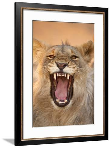 Africa, Namibia. Male Lion Growling-Jaynes Gallery-Framed Art Print