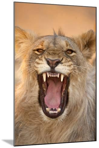 Africa, Namibia. Male Lion Growling-Jaynes Gallery-Mounted Photographic Print
