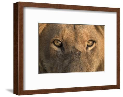 Africa, Namibia. Male Lion, Namibia-Jaynes Gallery-Framed Art Print
