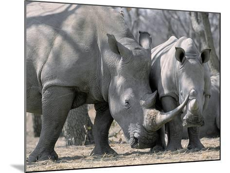 Africa, Namibia. White Rhino Mother and Calf-Jaynes Gallery-Mounted Photographic Print