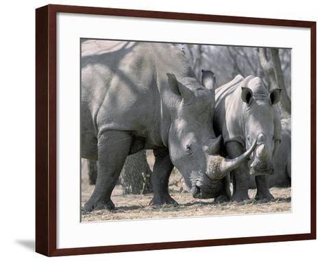 Africa, Namibia. White Rhino Mother and Calf-Jaynes Gallery-Framed Art Print