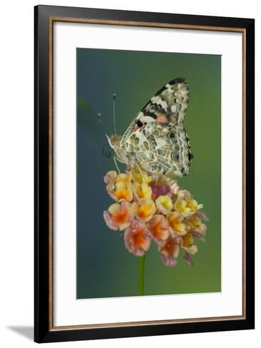 American Painted Lady Butterfly-Darrell Gulin-Framed Art Print