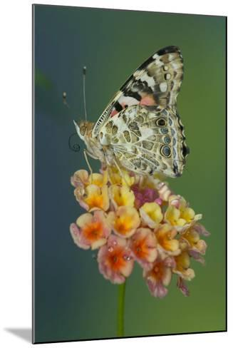 American Painted Lady Butterfly-Darrell Gulin-Mounted Photographic Print