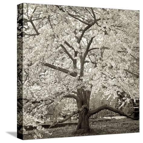 Hamption Magnolia II-Alan Blaustein-Stretched Canvas Print