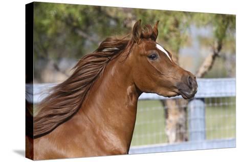Arabians 016-Bob Langrish-Stretched Canvas Print