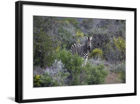 African Zebras 006-Bob Langrish-Framed Art Print