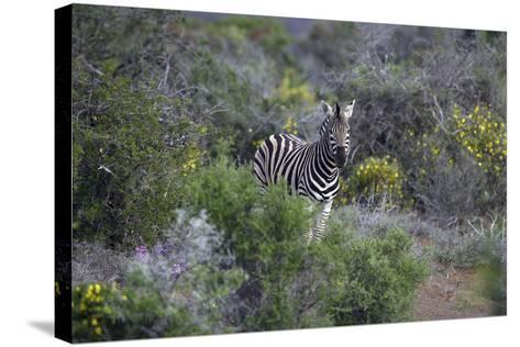 African Zebras 006-Bob Langrish-Stretched Canvas Print