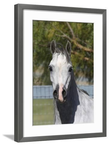 Arabians 015-Bob Langrish-Framed Art Print