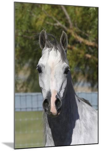 Arabians 015-Bob Langrish-Mounted Photographic Print