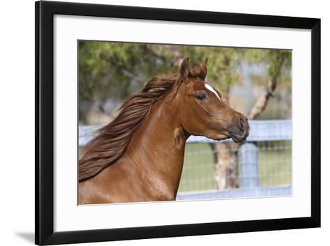 Arabians 016-Bob Langrish-Framed Art Print