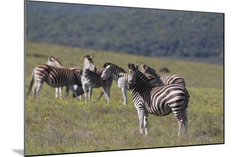 African Zebras 031-Bob Langrish-Mounted Photographic Print