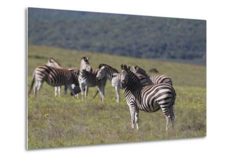 African Zebras 031-Bob Langrish-Metal Print
