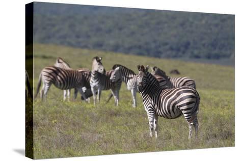 African Zebras 031-Bob Langrish-Stretched Canvas Print