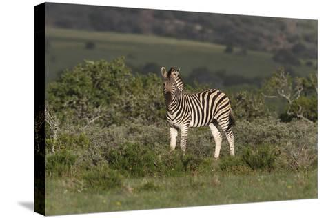 African Zebras 019-Bob Langrish-Stretched Canvas Print