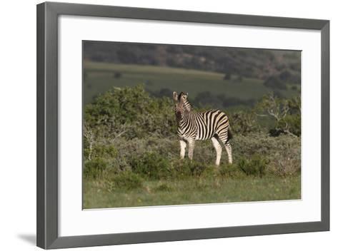 African Zebras 019-Bob Langrish-Framed Art Print